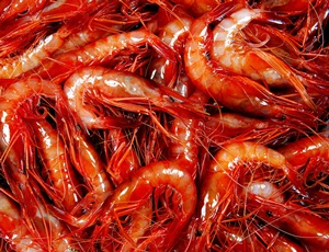 La pesca de la gamba a Palamós